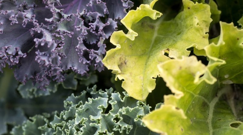 Weight Loss Fiber Foods - Kale is the World's Greatest Superfood!