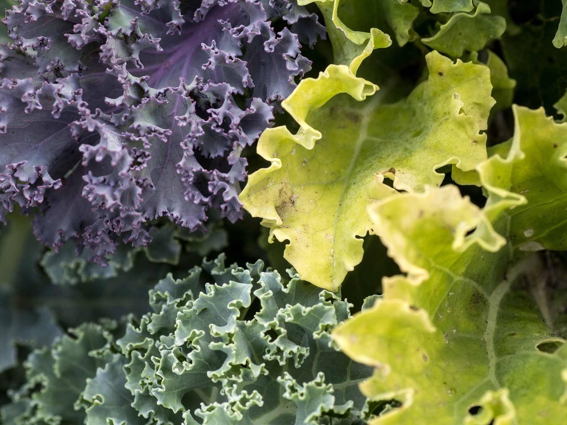 Weight Loss Fiber Foods – Kale is the World's Greatest Superfood!