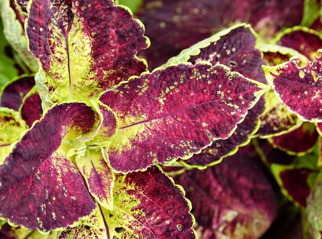 Forskolin is a substance found in the plant Coleus