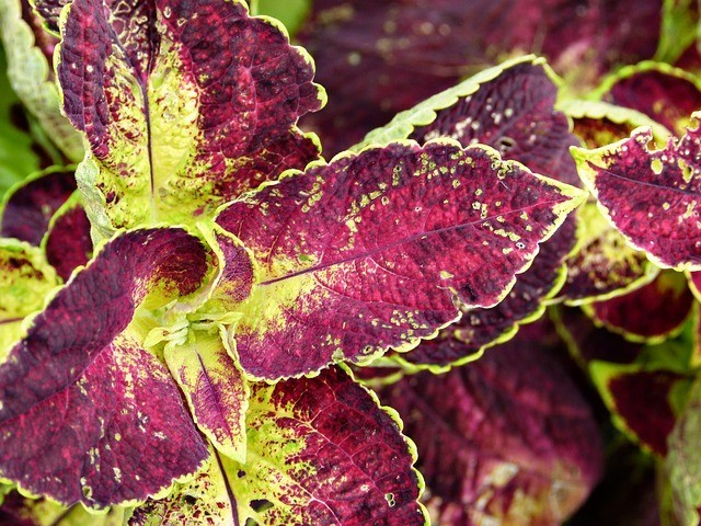 Coleus Forskohlii - Research Verified Forskolin