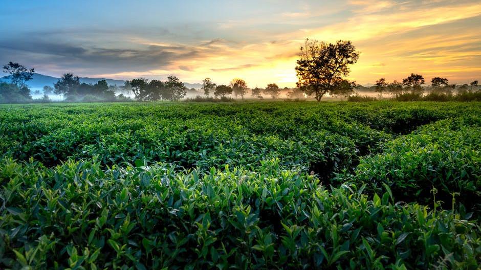 Green Tea in Supplements